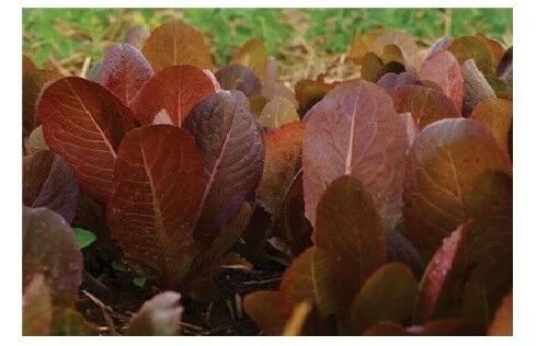 Cimmaron Deep red Romaine Lettuce 500-5000 seeds Bulk Heirloom Crisp Rare Color!