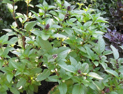 Cinnamon Basil 100 - 1 LB Seeds Fresh Heirloom culinary scent Herb plant Spicy