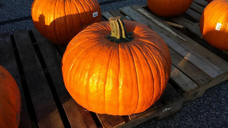 Connecticut Field Pumpkin 100 - 1600 Seeds Heirloom Bulk Non-GMO Bright Orange