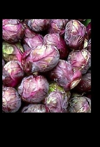 Falstaf Red Brussels Sprouts 50 - 400 Seeds Rare Bulk Heirloom Ornamental Garden