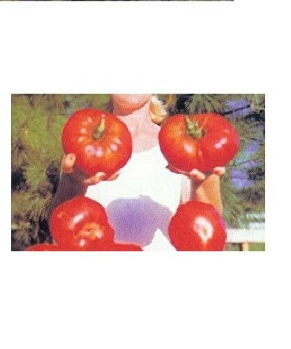 GIANT Delicious Tomato 30 - 4000 Seeds World Record 7 lbs 12 oz! BIG HEIRLOOM