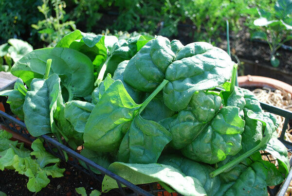 Giant Noble Spinach Seeds 100 - 1 LB Bulk Huge Leaves! Heirloom NON-GMO Big