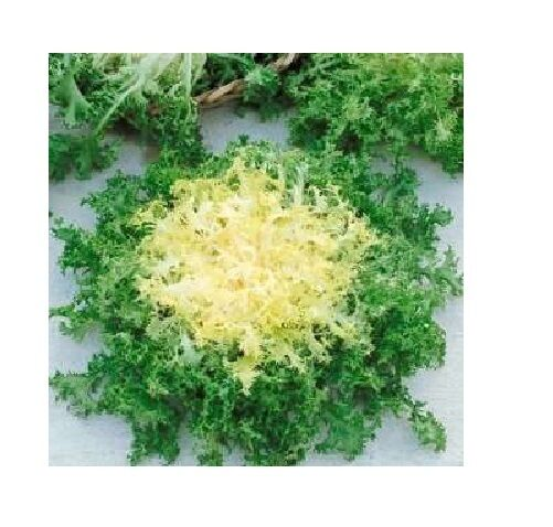 Green Curled Rufflec ENDIVE 200 - 8000 Seeds heirloom delicious tender leaves