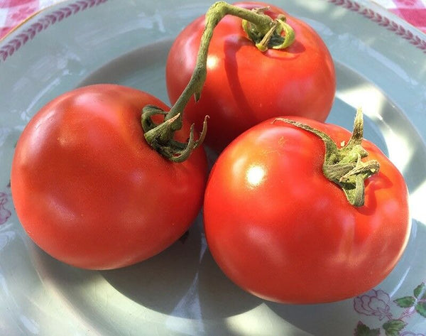 Homestead Tomato Seeds Heirloom Survival Huge Heavy Producer! Classic Slicing