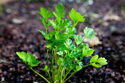 Italian Plain Leaf PARSLEY 300-5000 seeds heirloom fragrant healthy herb flavor