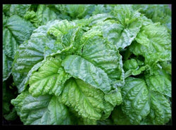Lettuce Leaf Basil 100 -5000 Seeds Aromatic Bushy Huge abundant Leaves! Heirloom