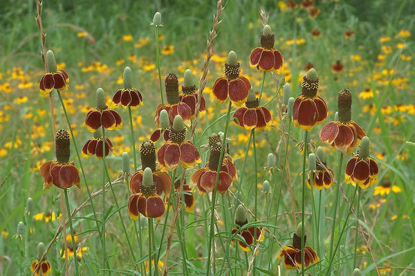 Mexican Hat 100 - 10,000 Seeds Ratibida Columnaris Columnifera Native Wildflower