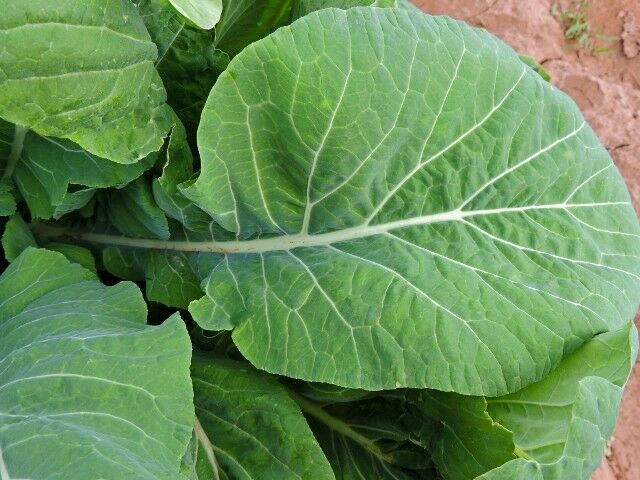 Mustard TENDERGREEN 100 - 300 - 1000 SEEDS Komatsuna Fresh Heirloom Green Bulk