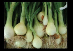 Nebuka Evergreen Bunching Onion select 25 - 1000 Seeds rare Japanese White Bulk