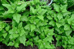 New Zealand Spinach 30 -400 Seeds Tetragonia Bulk Drought & Heat tolerant OP