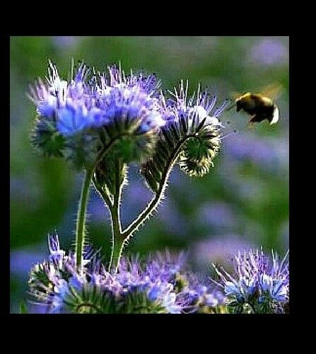 PURPLE TANSY 200 - 2000 Seeds Fiddleneck Lacy Phacelia Flower Nectar Rich Bulk