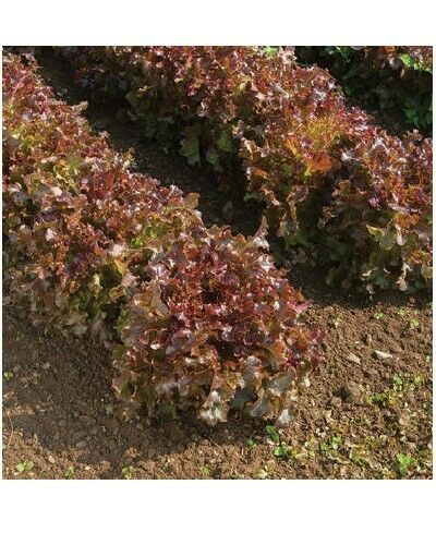 Red Salad Bowl Loose Leaf Lettuce 600 - 16,000 Seeds Fresh Heirloom Beautiful