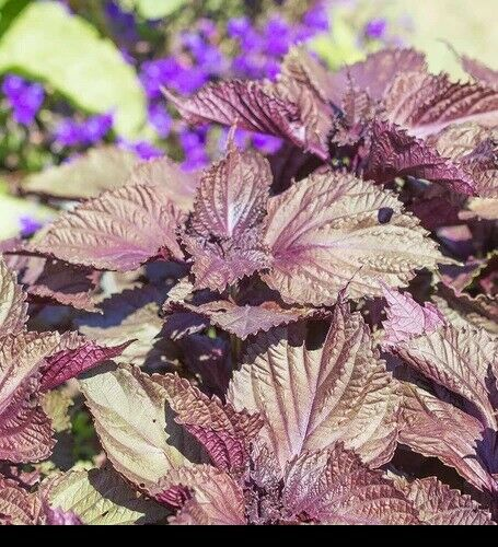 Shiso 350 - 1/4 LB Seeds Purple Perilla Red Mint Aromatic frilled leaves Salad
