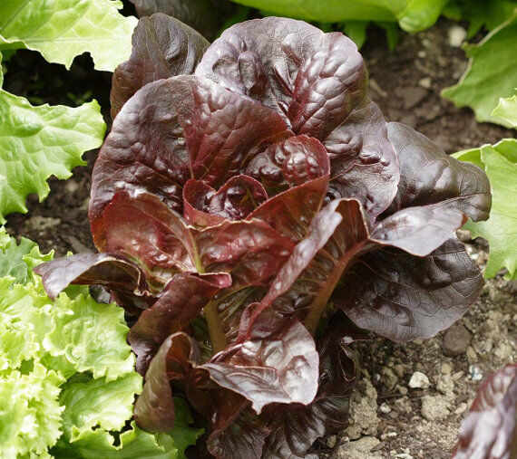 Super Red Romaine Lettuce Seeds 500, 1000, 2000, 5000 Bulk Heirloom crispy