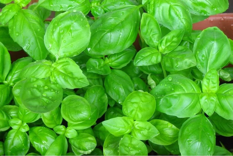Sweet Basil Herb select 30- 10,000 seeds Fresh Heirloom Great Aroma Dried Garden