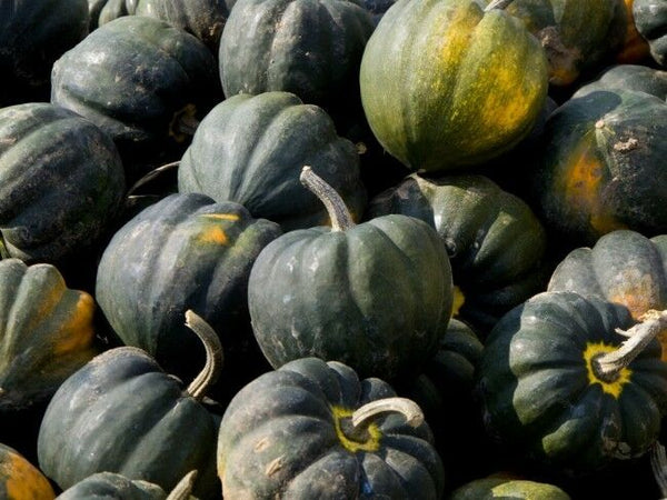 Table King Acorn 10 - 200 Seeds Winter Squash Bush Heirloom Sweet Beautiful Bulk