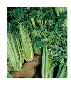 Tall Utah 52-70 CELERY 300 - 10,000 Seeds Improved Heirloom crispy Cold Hardy!