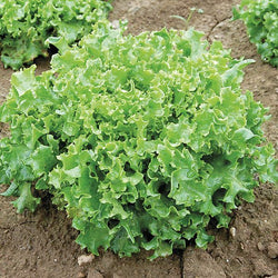 Tango Lettuce Seeds Frilliest Loose Leaf adds loft & texture Heirloom 40 days!