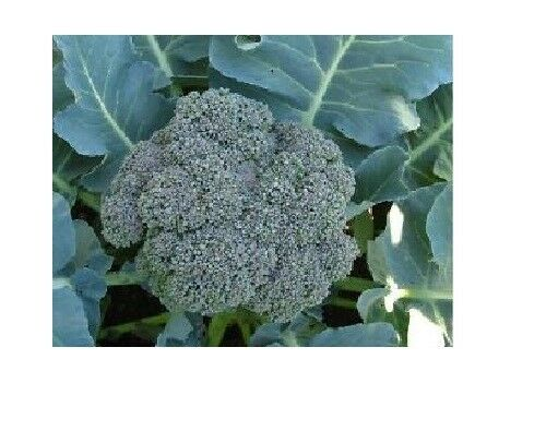 Waltham 29 Broccoli 275 - 144K Seeds High Yields Bulk Fresh Heirloom Non - GMO