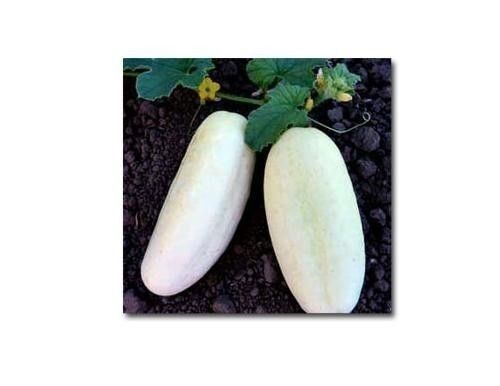 WHITE WONDER CUCUMBER Seeds Rare Heirloom healthy garden vegetable Bulk