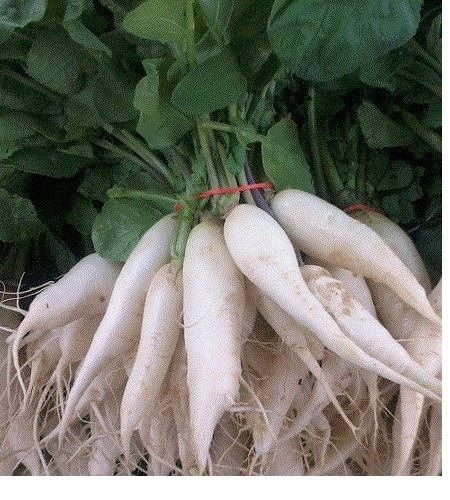 White Icicle Radish 30 - 2000 Seeds Heirloom Only 25 days!! long slim big fast