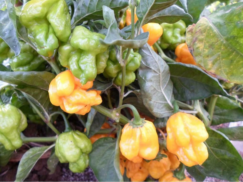 Yellow Brazilian 15 Seeds Rare Hot Pepper Great for hot sauce! Aromatic