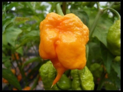 Yellow PRIMO SuperHot Chili Pepper 15 Seeds Extreme RARE Guinness World Record
