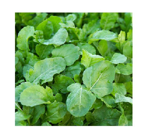 Arugula ASTRO 300 - 5000 seeds Heirloom Garden zesty healthy salad Nutty flavor