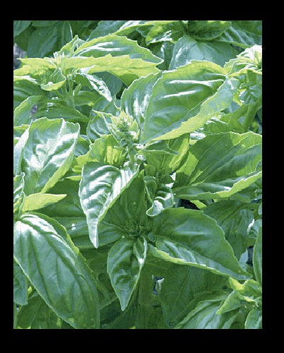 "3 (6) Live 4 - 7"" inch Seedlings Genovese Basil Culinary Aroma Fresh Herb Pesto"