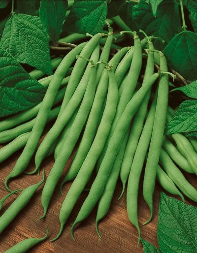 10 Seeds Bush Blue Lake 274 Beans Heirloom Green String Non GMO Classic beauty
