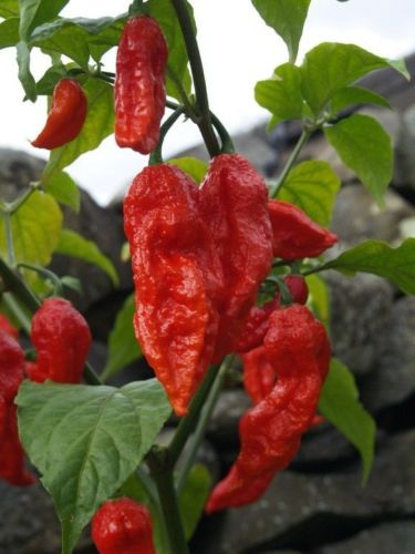 "Pre-Order 6 8""-12"" Red Ghost Bhut Jolokia Pepper Plants"