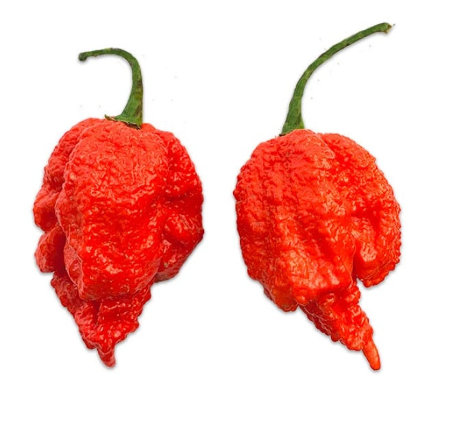 10 seeds Dragons Breath Super Hot Chili Pepper 2.48 Million SHU!! WORLD RECORD
