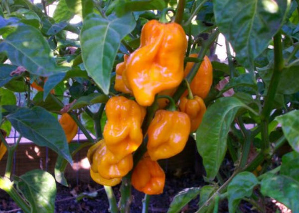 Yellow Trinidad CONGO 10 Seeds Prolific Rare Heirloom fruity flavor Huge PODS!!!