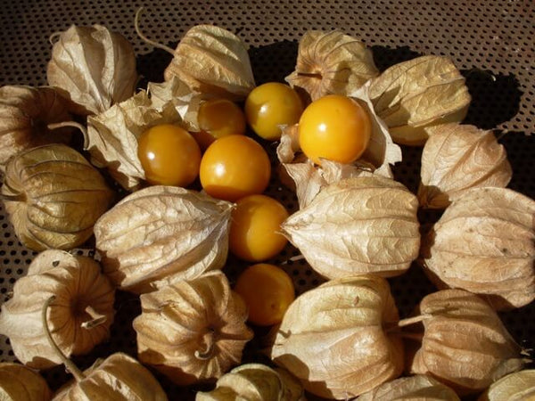 3 Live 4 – 7 inch Seedlings Husk Ground Cherry Cape Gooseberry