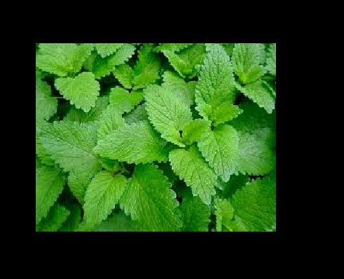 "3 (6) LIVE 5 - 9"" Seedlings Lemon Balm Herb Heirloom REPELS MOSQUITOS Melissa Officinalis"