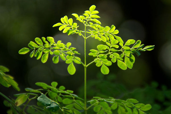 "3 Live 6 - 10"" inch Seedlings Moringa Oleifera Trees SUPERFOOD!  Vitamins! Drumstick Powder fights Cancer extremely healthy"