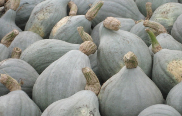 Blue Hubbard Winter Squash 10 - 400 Seeds New England Heirloom HUGE 15 - 40 lbs!