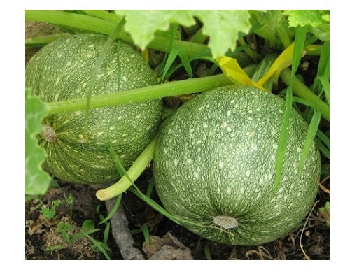 20 Seeds Zucchini ROUND summer squash unique garden heirloom casserole gourd