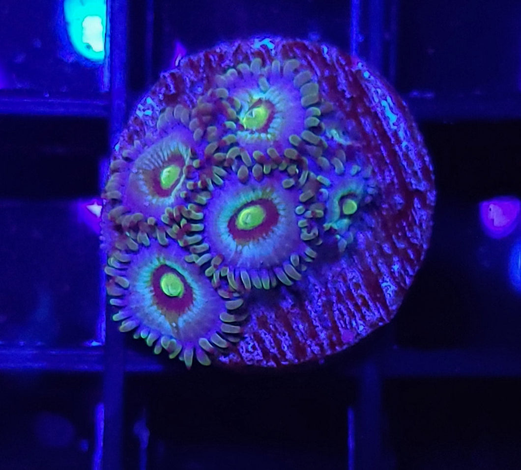 LC Stardust Zoas