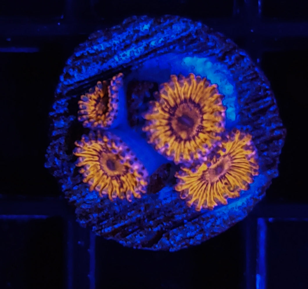 ARC Fireball Zoas