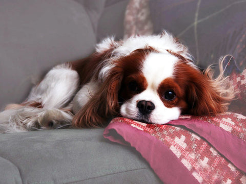 happy chappy pets king charles cavalier