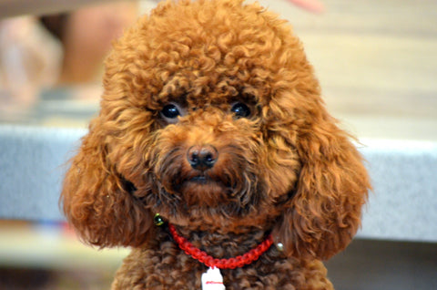 poodle happy chappy pets pet supplies