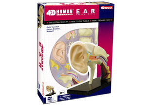 4D Puzzle - Ear Anatomy Model