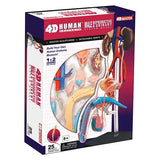 4D Puzzle - Male Reproductive System Model