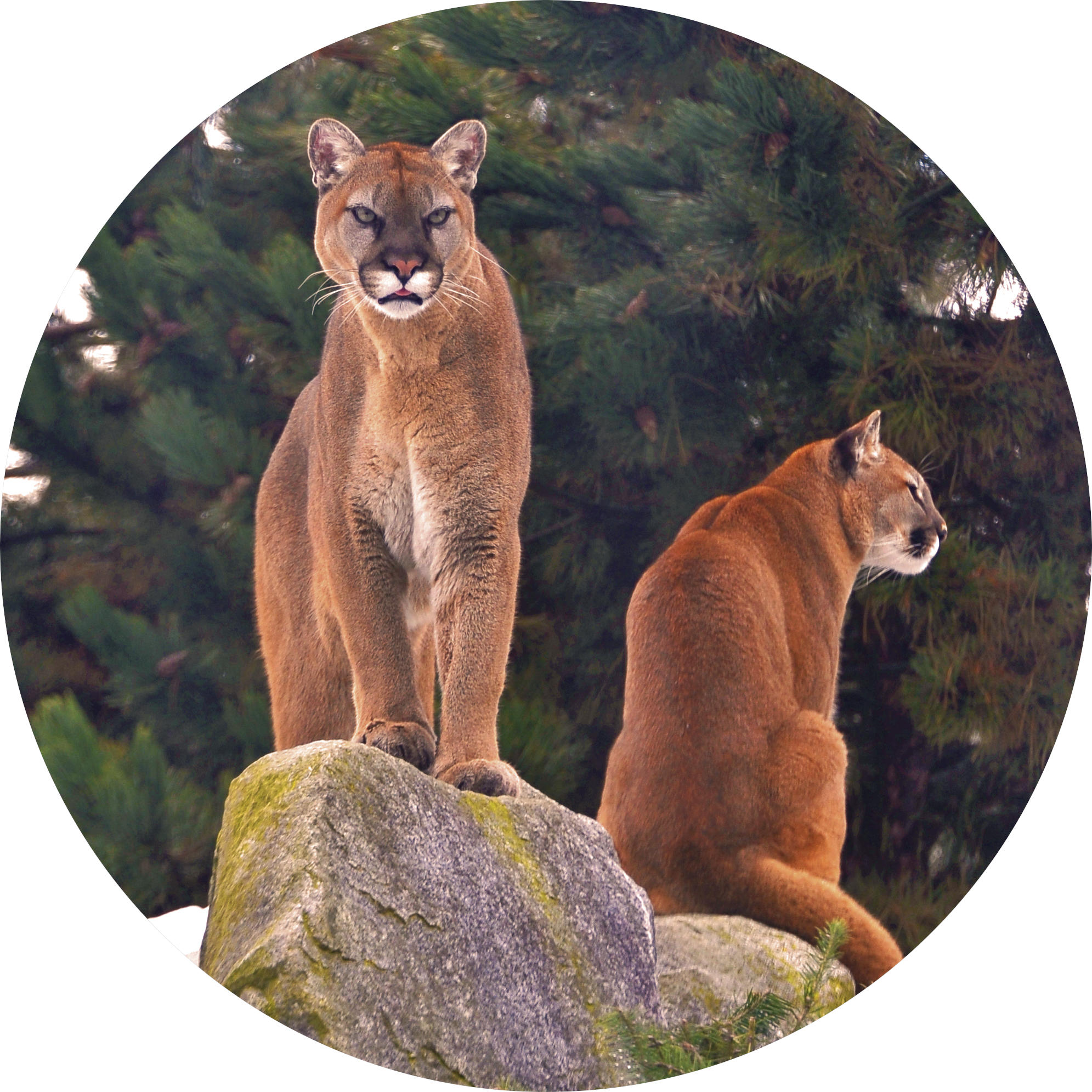 cougar admission button