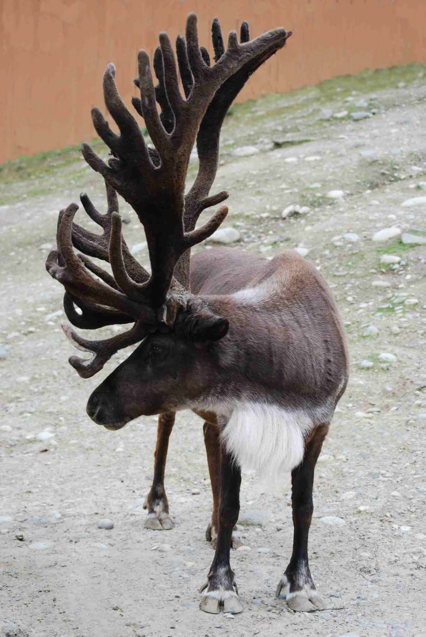 bull reindeer with impressive fuzzy antlers