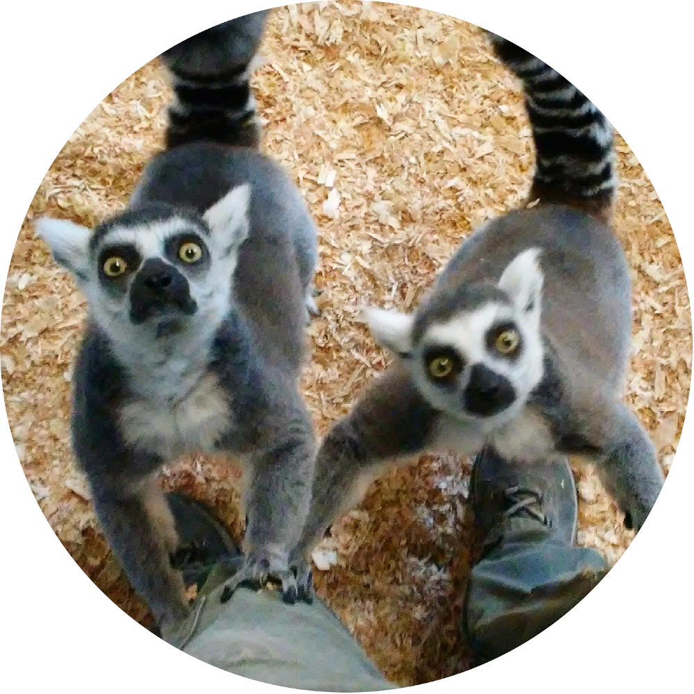 lemurs looking imploringly up