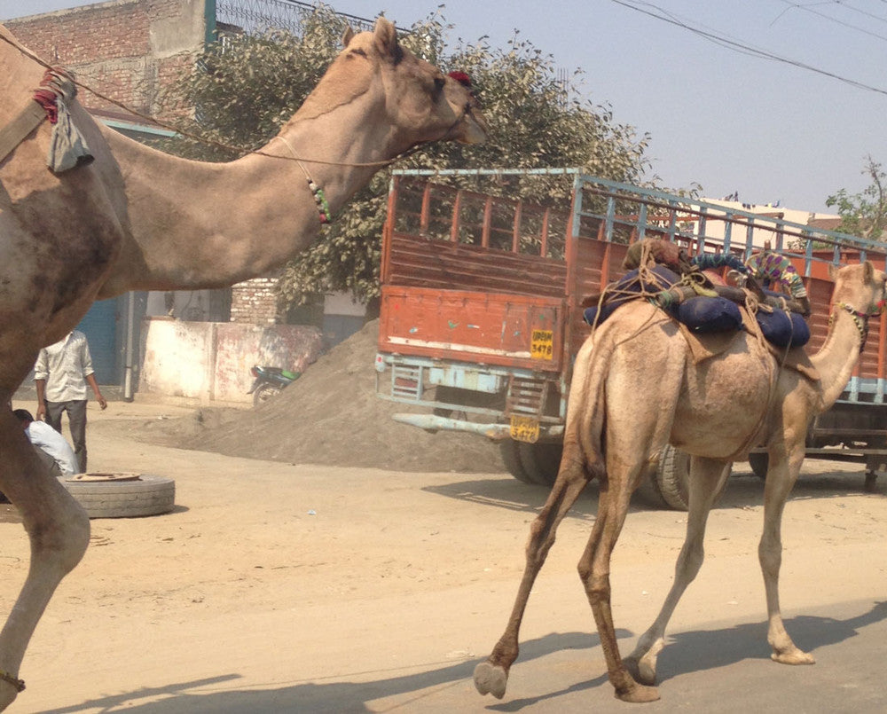 Camels before Eid