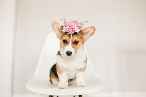 How to make a flower crown (for your pet)