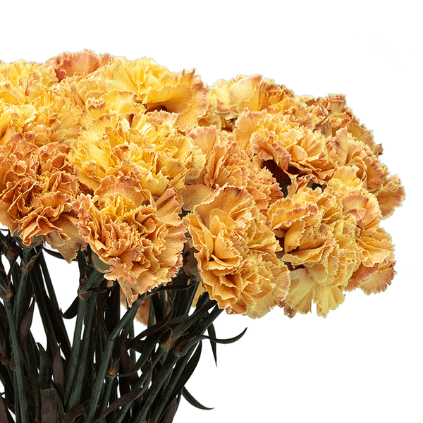 Desert Sunset Carnation